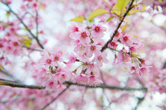 Beautiful wild himalayan cherry flower Royalty Free Stock Photography