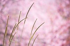 Beautiful wild himalayan cherry flower Stock Image