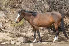 Beautiful Wild Horse in the Arizona Desert Royalty Free Stock Photo