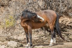 Beautiful Wild Horse in the Arizona Desert Stock Photo