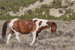 Beautiful Wild Horse in the High Desert in Summer royalty free stock image