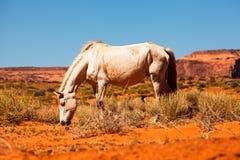 Beautiful Wild Horse in Utah Red Rock Desert. Pretty white horse grazing in the red rock desert on the border of Arizona and Utah Stock Images