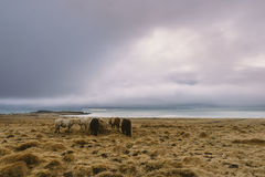 Beautiful wild horses at the coast. Moody clouds and a sunset in the background. Stunning Iceland landscape photography. Royalty Free Stock Photo