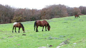 Beautiful wild horses in the forest in the mount Cucco in Umbria, in Italy. Horses grazing in the mountains in Italy stock video footage