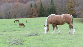 Beautiful wild horses in the forest in the mount Cucco in Umbria, in Italy. Beautiful wild horse in the forest in the mount Cucco in Umbria, in Italy stock footage