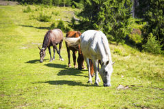 Beautiful wild horses grazing on the green hill,beautiful scene Royalty Free Stock Photography