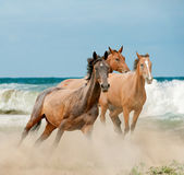 Beautiful wild horses running. By the sea Royalty Free Stock Photos