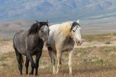 Beautiful Wild Horses in Utah Royalty Free Stock Photo