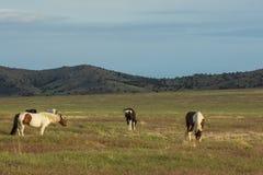 Beautiful Wild Horses in Utah Stock Photos