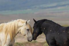 Pair of Friendly Wild Horses in Utah Royalty Free Stock Photos