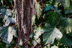 Beautiful, wild ivy on tree bark in the park. Ivy is weaving on wood Royalty Free Stock Photo