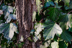 Beautiful, wild ivy on tree bark in the park Stock Photo