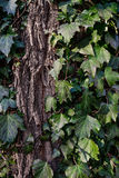 Beautiful, wild ivy on tree bark in the park. Ivy is weaving on wood Royalty Free Stock Images
