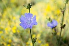 Beautiful wild lilac chicory Royalty Free Stock Photography