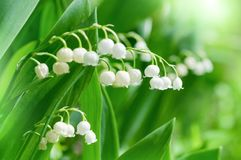 Beautiful flowers of lily of the valley Royalty Free Stock Photo