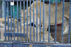 Beautiful wild lioness in a cages Stock Image