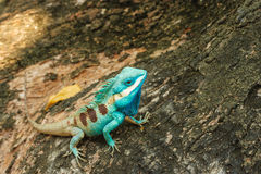 Beautiful Wild lizard. Blue green lizard in to the wild Royalty Free Stock Photo