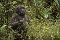 Beautiful and wild lowland gorilla in the nature habitat Royalty Free Stock Image