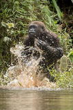 Beautiful and wild lowland gorilla in the nature habitat Royalty Free Stock Images