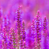 Beautiful wild lupins flowers Royalty Free Stock Photography