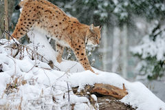 Beautiful wild lynx Royalty Free Stock Photo
