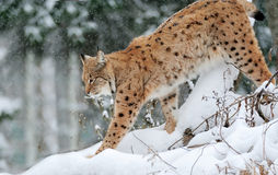 Beautiful wild lynx Stock Images