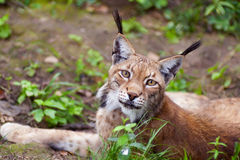 Beautiful wild lynx Royalty Free Stock Photos