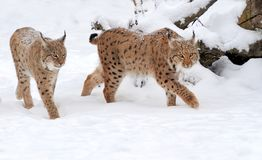 Lynx in winter day Royalty Free Stock Photo