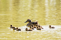 Beautiful wild Mallard duck with youngs – Anas platyrhynchos,. Beautiful wild Mallard duck with youngs – Anas platyrhynchos. Birds scene. Yellow water Stock Photography