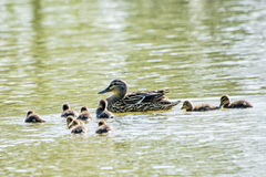 Beautiful wild Mallard duck with youngs Royalty Free Stock Photo