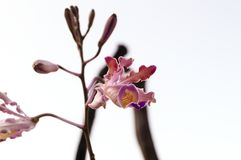 Beautiful wild orchids standing and blooming. Beautiful wild orchids stand with white background. This orchid is found in northeastern Thailand and have mix Royalty Free Stock Photos