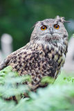 Beautiful wild owl Stock Images