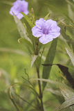 Beautiful wild petunius flower in morning Royalty Free Stock Photo