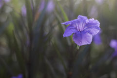 Beautiful wild petunius flower in morning Stock Photos