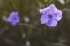 Beautiful wild petunius flower in morning Royalty Free Stock Image