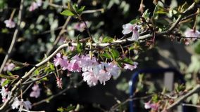 Beautiful Wild Pink Flower Sway in the Wind on a Delicate Tree Branch - Garden Nature Plant Backgrounds stock video