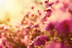 Beautiful wild pink flowers in the sunshine Royalty Free Stock Image