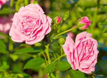 Beautiful wild pink roses Stock Photo