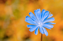 Beautiful wild plant blue chicory flower on orange fantastic background, close up royalty free stock image
