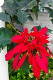 Beautiful Wild Poinsettia Growing in Cuba. Bright red wild poinsettia shrub growing at a home in Cuba stock photos