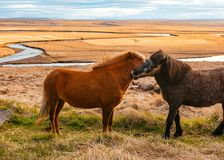 Beautiful wild ponies in the field