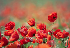 Beautiful wild poppies Royalty Free Stock Images