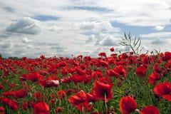 Beautiful wild poppies Royalty Free Stock Photo