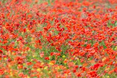 Wild poppy meadow blossoms red. A beautiful wild poppy field royalty free stock photos