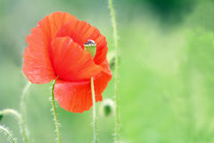 Beautiful wild poppy flower. Beautiful red wild poppy flower royalty free stock image