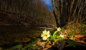 Beautiful wild primrose flowers, Primula vulgaris, in the forest Royalty Free Stock Images