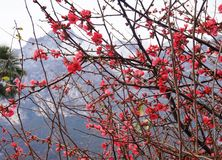 Beautiful wild red blossom. Garda lake, Italy. Beautiful wild red blossom Stock Photography