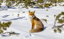 Beautiful wild red fox in the snow, in the mountains stock photo