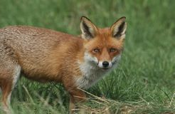 A magnificent wild Red Fox, Vulpes vulpes, hunting for food to eat in the long grass. royalty free stock photos