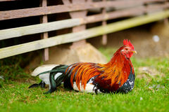 Beautiful wild rooster on Kauai island Royalty Free Stock Photos